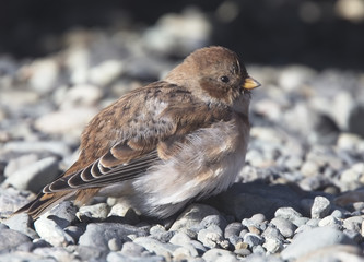 Snow Bunting (Plectrophenax nivalis) a fisrt winter bird, Iceland.