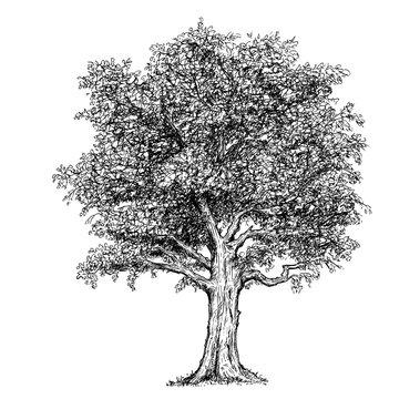 Vector Hand Drawing Drawn Tree