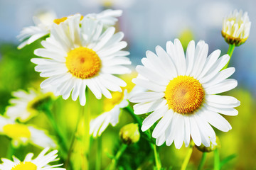 Chamomile among flowers