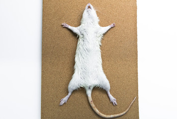 Rat anatomy on the dissection tray