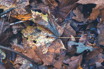 Dry leaves in autumn forest on a blurred background.