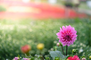 Beautiful pink Dahlia flower in the green garden for wedding, invitation, Valentine and Mother's Day.