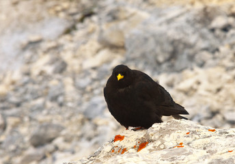 Chough standing on the limestone rock