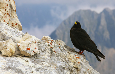 Chough standing on the limestone rock with mountais on background