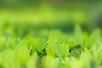 Wall Mural - Leaves blur Fresh green grass (shallow dof) Natural green plants landscape using as a background or wallpaper