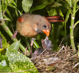 Female northern cardinal (Cardinalis cardinalis) feeding nestlings in the nest, Lilburn, Georgia, USA