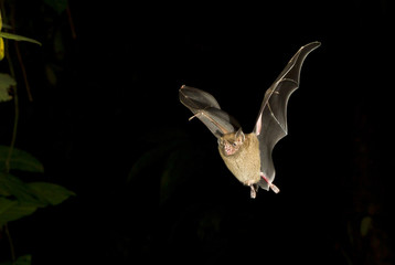 Jamaican fruit bat (Artibeus jamaicensis) flying at night, Tortuguero, Costa Rica.