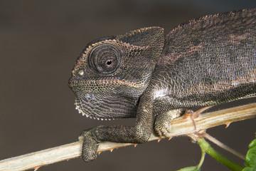 Common Chameleon (Chamaeleo chamaeleon) portrait, Beers Sheva, Israel