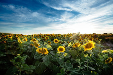 Beautiful sunflowers in field