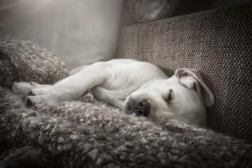 junger süßer labrador retriever hund welpe müde im bett am schlafen