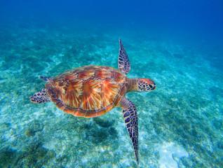 Sea turtle closeup in sea water. Green sea turtle closeup. Wildlife of tropical coral reef.