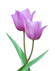 Couple of Young purple tulips isolated on white background