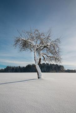 Schneebedeckter Apfelbaum