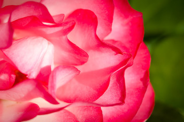 Nature Abstract: Lost in the Gentle Folds of the Delicate Rose