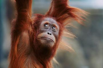 Orangutan. portrait of young monkeys Fotomurales