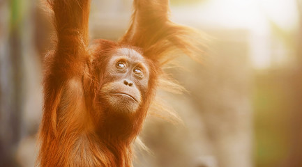 Orangutan. portrait of young monkeys