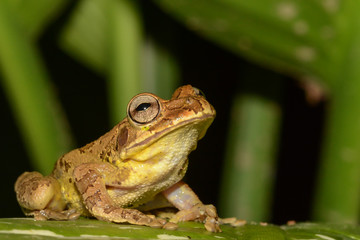 Common Mexican Tree Frog in Costa Rica