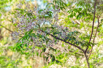 Showy clusters of chinaberry tree