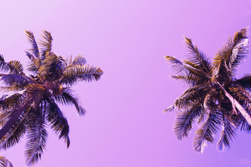 Green palm tree crowns on violet sky background. Coco palm pink toned photo.