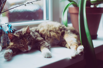 Lazy cat on the window. in sunlight. Vintage rustic photo style.