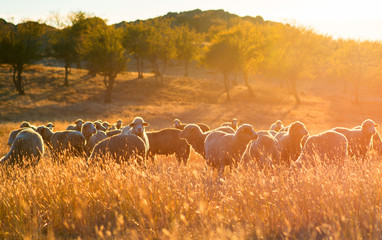 Flock of sheep at sunset