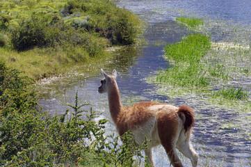 Guanaco à côté d'un étang - 2