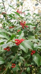 Holly Tree 5.
