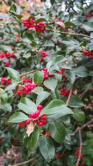 Holly Tree 7.