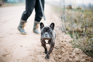 brown French bulldog on a walk.