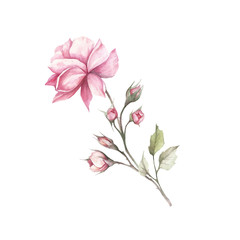 The image of a rose.Hand draw watercolor illustration