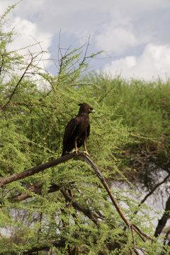 Long Crested Eagle II