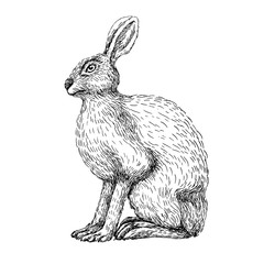 Sketch line art drawing of hare rabbit. Black and white vector illustration. Cute hand drawn animal.