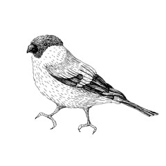 Sketch line art drawing of bullfinch. Black and white vector illustration. Cute hand drawn animal.