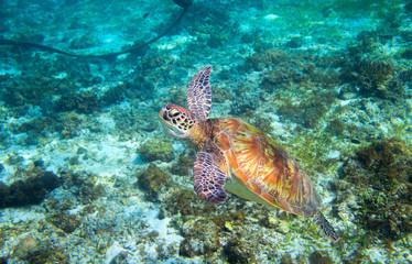 Olive green turtle above seabottom. Tropical island seashore.