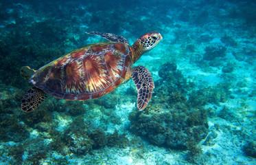 Sea turtle swims over sea bottom. Tropical island seashore nature.