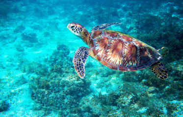 Sea turtle in turquoise blue water. Tropical island seashore nature.
