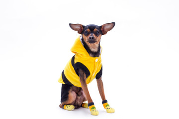 Russian toy-terrier in yellow clothes. Purebred sleek-haired toy-terrier dressed in yellow hoodie sweater and socks isolated on white background, studio shot.