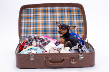 Cute toy-terrier in travel suitcase. Adorable sleek-haired russian toy-terrier sitting in open valise with clothes. Miniature purebred dog at home.