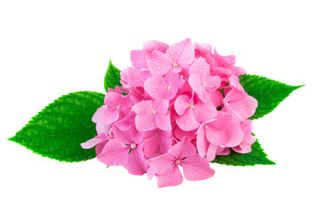 Photo sur Plexiglas Hortensia Pink flowers of hydrangea or hortensia isolated on white. Image included clipping path