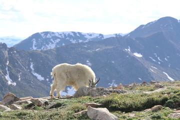 Mt. Evans' goats at 14000 ft, Denver, Colorado