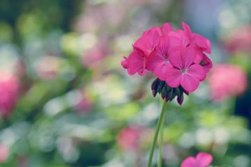 pink geranium flower in winter