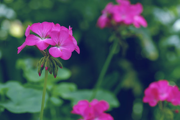 pink geranium flower in winter