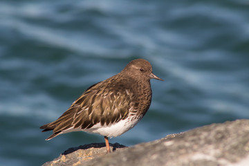 California Coastal Birds