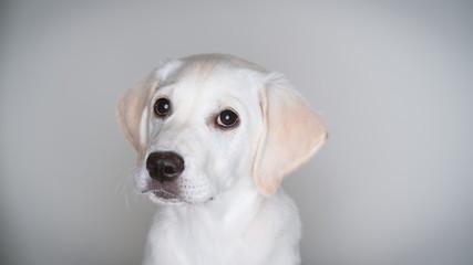 Cute white lab puppy