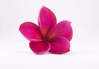 pink plumeria flower with isolated background