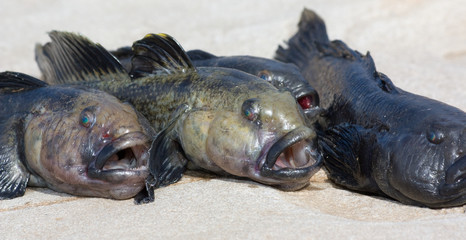 Raw bullhead fish called goby fish on grey stone.