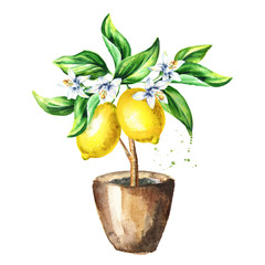 Lemon  tree with fruits, flowers and leaves.  Watercolor hand drawn illustration