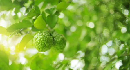 bunch of green bergamot on bergamot tree in garden against with the sunlight in the morning