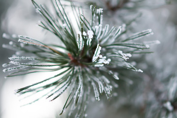 Pine tree branche covered with hoarfrost. Selective focus