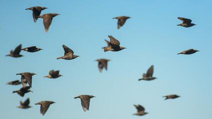 Storni in volo su sfondo cielo,Sturnus vulgaris